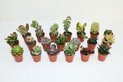 Succulents - mixed variety