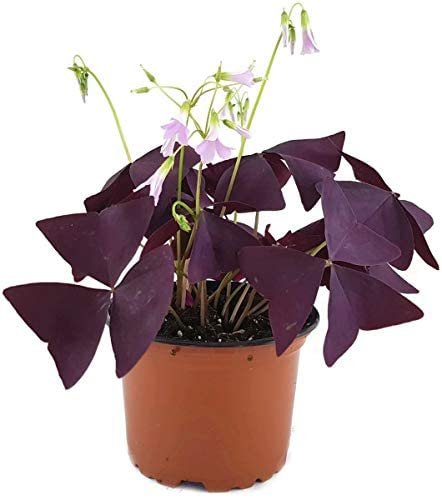 Oxalis Triangularis - available again next season