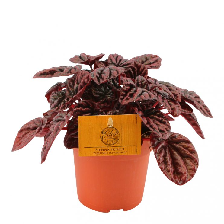 Pepperomia Schumi Red