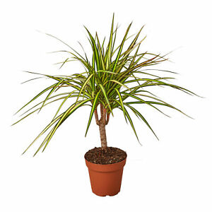 Draceana Marginata - Dragon Tree - Small