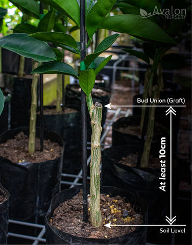 Ensure that the bud union (graft) is at least 10cm above the soil level
