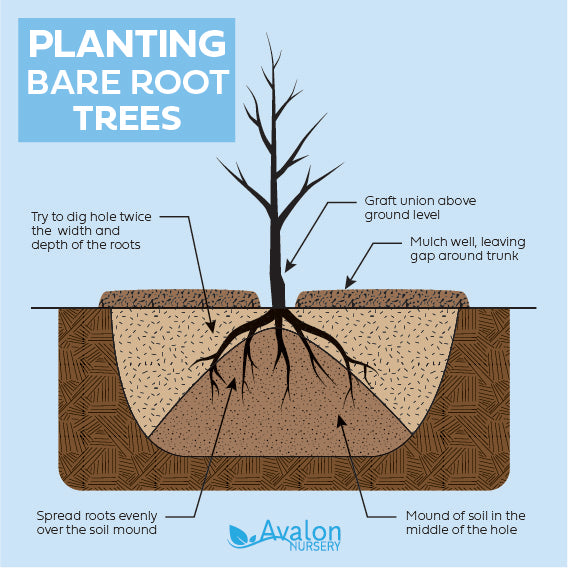 Planting bare root trees diagram