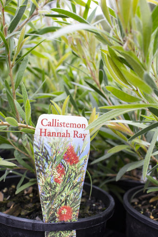 CALLISTEMON 'HANNAH RAY' 140MM - Avalon Nursery