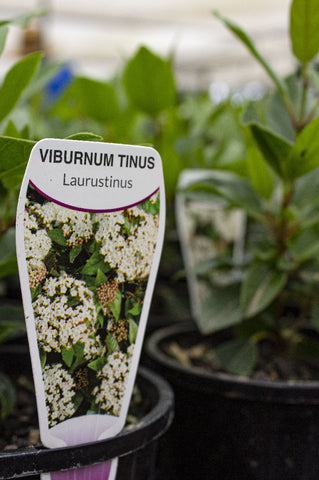 VIBURNUM TINUS LAURESTINUS 140MM - Avalon Nursery