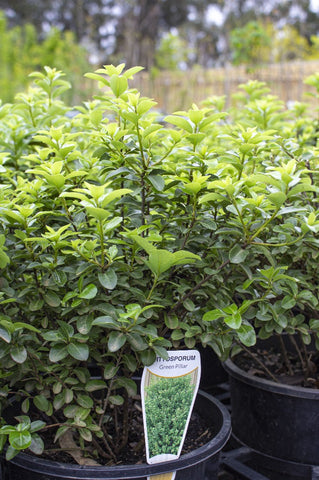 PITTOSPORUM GREEN PILLAR 200MM *SALE* - Avalon Nursery