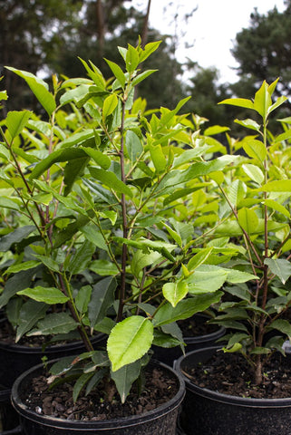 PRUNUS LUSITANICA PORTUGUESE LAUREL 200MM - Avalon Nursery