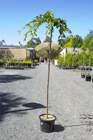 WEEPING CHERRY PRUNUS FALLING SNOW 1.2M 330MM POT - Avalon Nursery