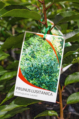 PRUNUS LUSITANICA PORTUGUESE LAUREL 140MM