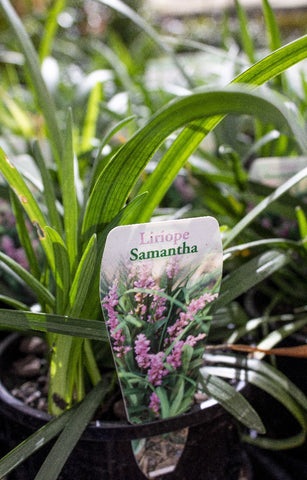 LIRIOPE SAMANTHA 140MM