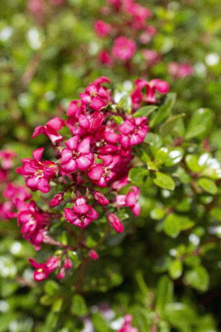 ESCALLONIA PINK PIXI 140MM