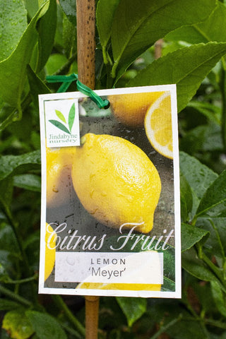 CITRUS LEMON MEYER