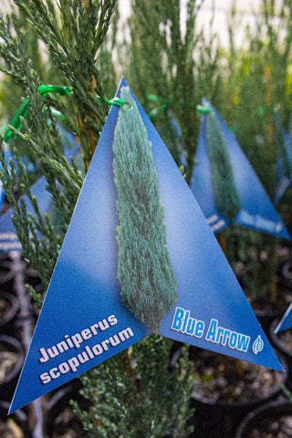 JUNIPERUS SCOPULORUM 'BLUE ARROW' 140MM