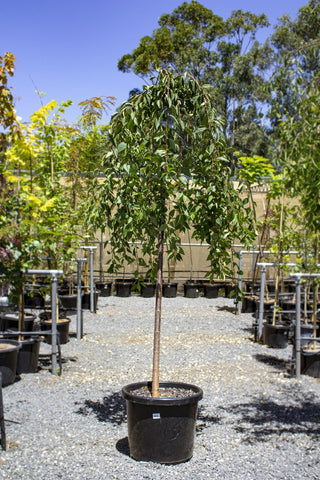 WEEPING CHERRY PRUNUS FALLING SNOW 1.8M 500MM POT