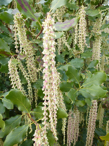 SILK TASSEL BUSH - GARRYA ELIPTICA 140MM - Avalon Nursery