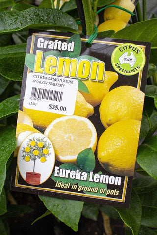 CITRUS LEMON EUREKA