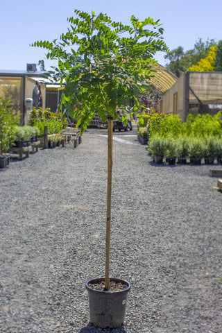 ROBINIA MOP TOP POTTED 330MM