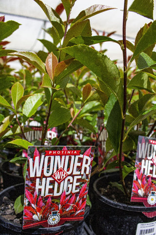 PHOTINIA WONDER HEDGE 140MM