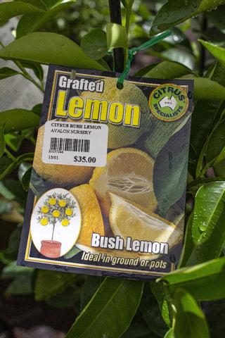 CITRUS BUSH LEMON