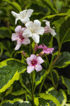 WEIGELA FLORIDA VARIEGATA 140MM