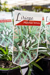 LIRIOPE MONROE WHITE 140MM