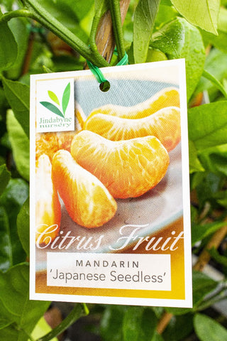 CITRUS MANDARIN JAPANESE SEEDLESS