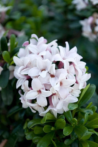 DAPHNE ETERNAL FRAGRANCE WHITE 140MM