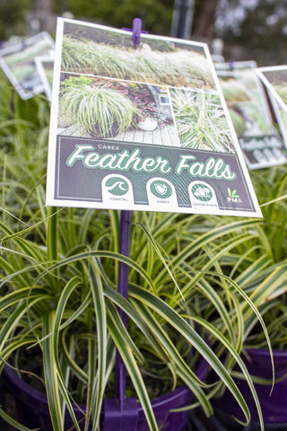 CAREX FEATHER FALLS 140MM