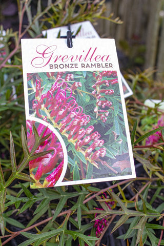 GREVILLEA BRONZE RAMBLER 140MM - Avalon Nursery