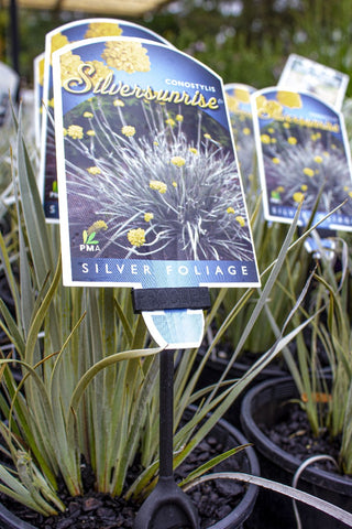 CONOSTYLIS CANDICANS SILVER SUNRISE 140MM - Avalon Nursery