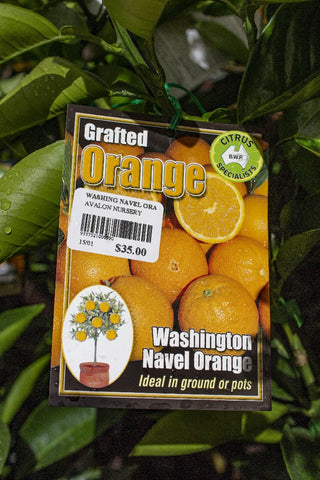 CITRUS ORANGE WASHINGTON NAVEL