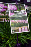 ARMERIA DREAMERIA SWEET DREAMS 140MM