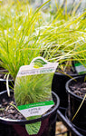 LOMANDRA LITTLE CON 140MM - Avalon Nursery