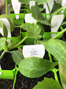 Seedlings - Zucchini - Fresh Herb Company, Tyabb