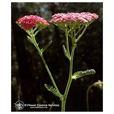 Flower Essence Services Supplement Dropper, Pink Yarrow, 0.25 Ounce