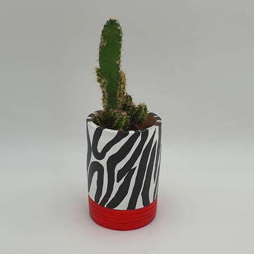 Plant Zebra Print, Red Base Terracotta Pot with a Succulent Plant - mabrook.me