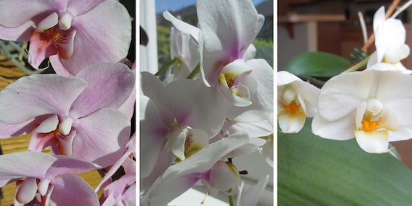 Orchids in Cathy Erickson's home