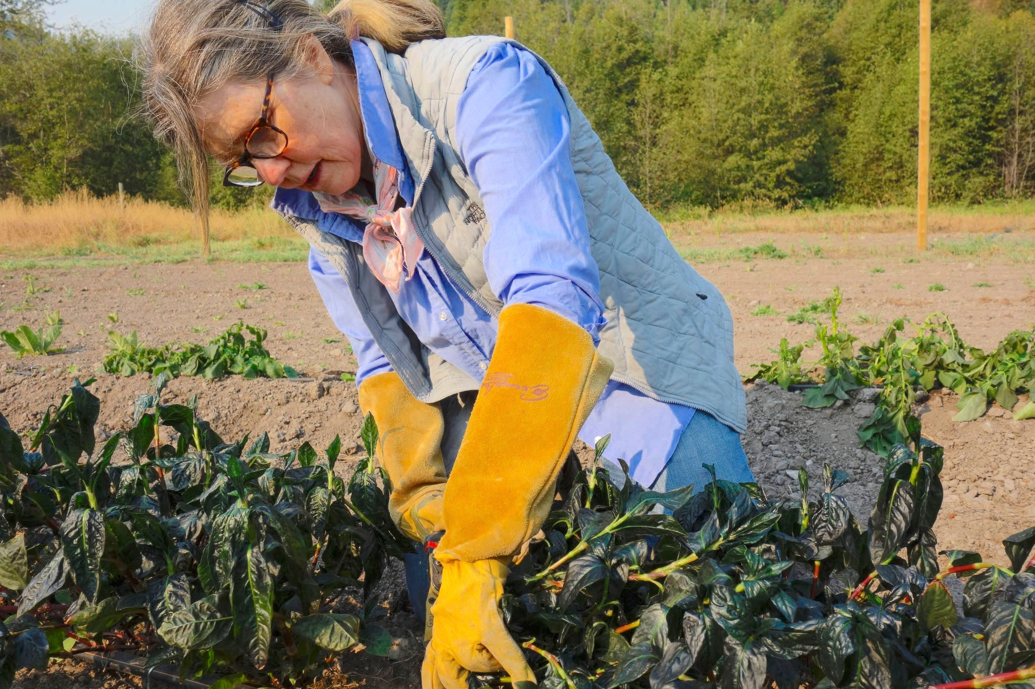 Patricia Belyea harvesting indigo plants at Okan Arts, Summer 2020