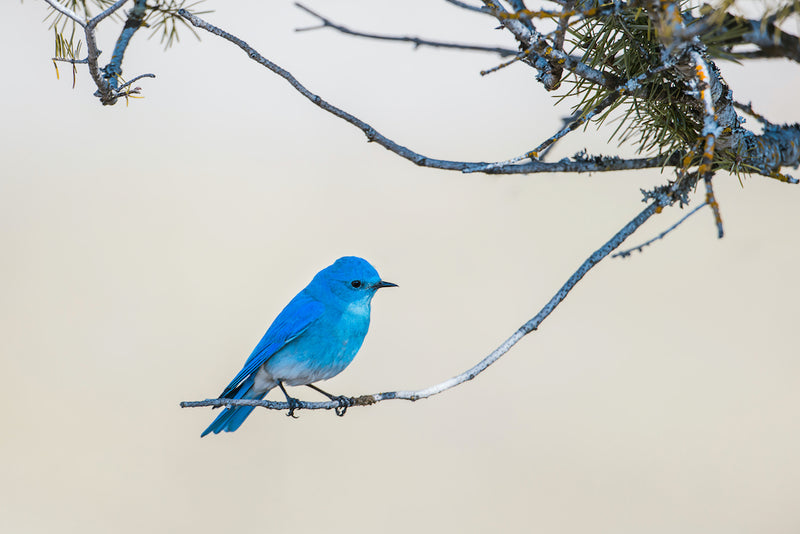 Male Mountain Blue Bird Perched on Tree Branch in Farragut State Park Idaho