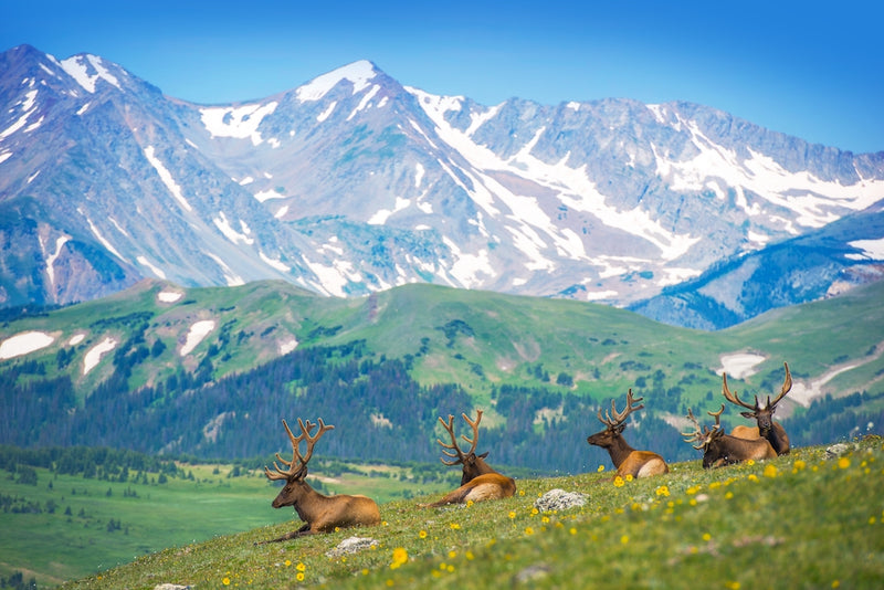 View of North American Elks on Sunny Day Near Rocky Mountains Colorado