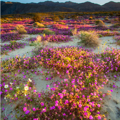 multiple of colors and flowers in a fiel in the Anza-Borrego Desert
