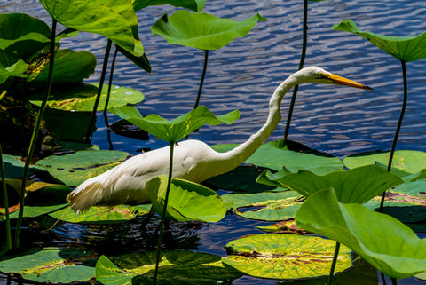 Brazos Bend State Park white Swan in water