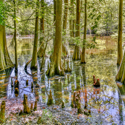 in the swamps for chicot state park