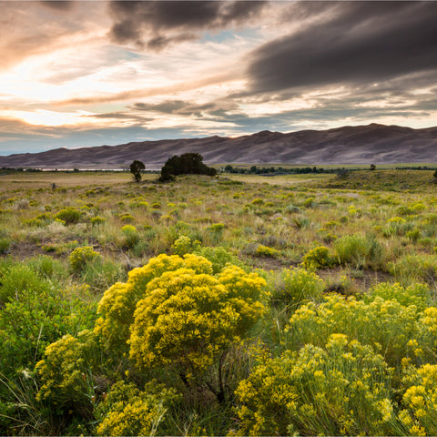 open field with yellow and green plants in Grand Sand Dunes National Park and Preserve