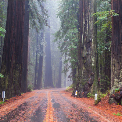 walking a road in the redwood park