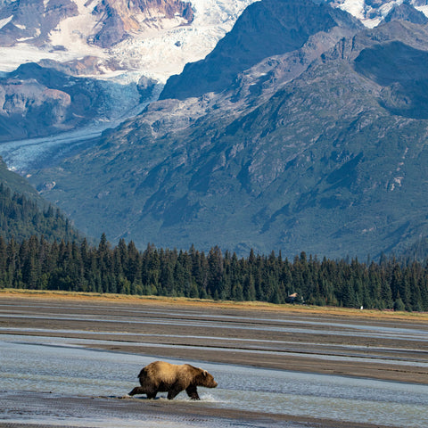 a bear strolling through a creek at Lake Clark National Park and Preserve
