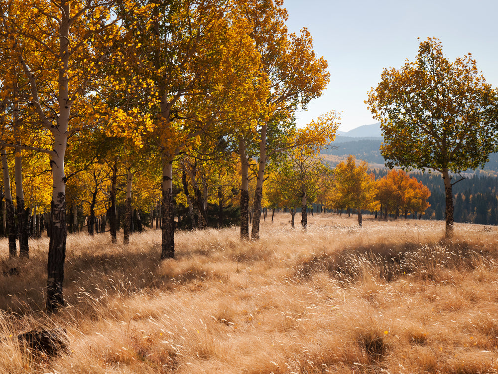 Aspens in The Autumn in Mueller State Park Colorado