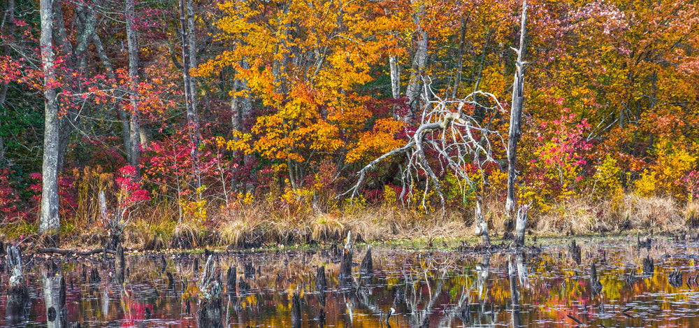 Autumn Scene View of Pond With Fallen Trees in Allaire State Park New Jersey