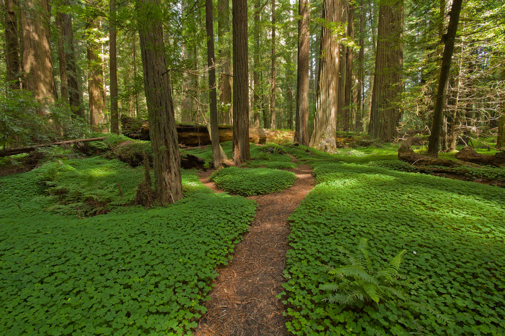 Avenue of The Giants in Humboldt Redwood State Park California