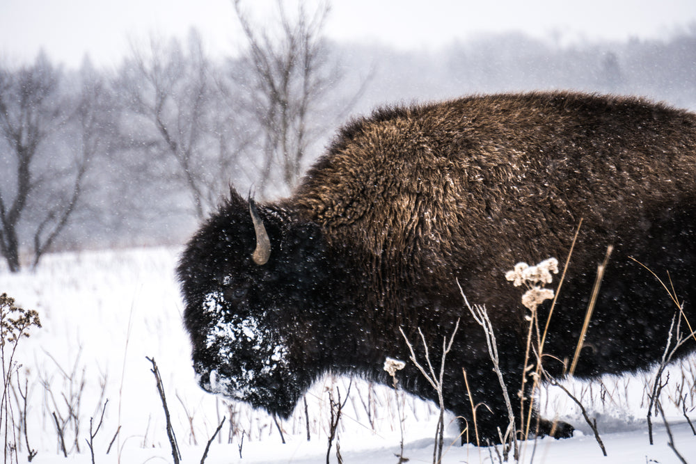 Bison Roaming in Snow in Minneopa State Park Minnesota