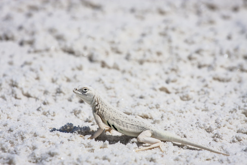 Bleached Earless Lizard at White Sands National Park New Mexico